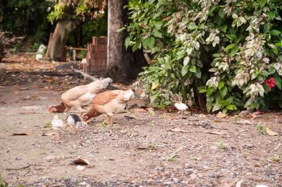 Arruado galinhas